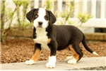 Picture of Dalia / Greater Swiss Mountain Dog