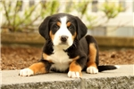 Picture of Dawson / Greater Swiss Mountain Dog