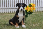 Picture of Holly / Greater Swiss Mountain Dog