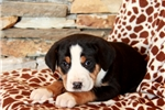 Picture of Havanna / Greater Swiss Mountain Dog