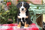 Picture of Roscoe / Greater Swiss Mountain Dog