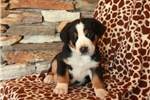 Picture of Hudson / Greater Swiss Mountain Dog
