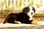 Picture of Dozer / Greater Swiss Mountain Dog