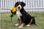 Picture of Hope / Greater Swiss Mountain Dog