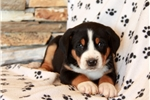 Picture of Harley / Greater Swiss Mountain Dog