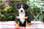 Picture of Rose / Greater Swiss Mountain Dog