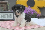 Picture of Beauty / Havanese