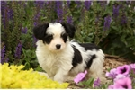 Picture of Louie / Havanese