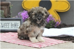 Picture of Buffy / Havanese