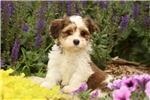 Picture of Lugy / Havanese
