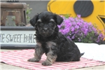 Picture of Betty / Havanese