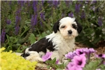 Picture of Patches / Havanese