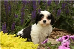 Picture of Lucy / Havanese