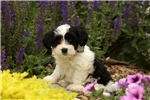 Picture of Lizzy / Havanese