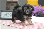 Picture of Becky / Havanese