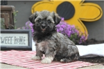 Picture of Brianne / Havanese