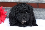 Picture of a Havapoo Puppy