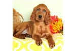 Tigger | Puppy at 16 weeks of age for sale