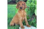 Scott | Puppy at 22 weeks of age for sale