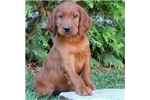 Collin | Puppy at 11 weeks of age for sale