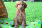 Irishdoodle for sale