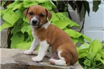 Picture of Willie / Jack Russell Terrier