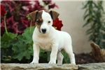 Jack Russell Terrier for sale