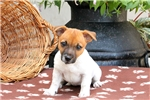 Picture of Coconut / Jack Russell Terrier