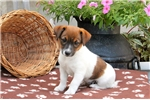 Picture of Coffee / Jack Russell Terrier