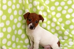 Picture of Maury / Jack Russell Terrier