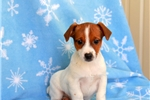 Picture of Marty / Jack Russell Terrier