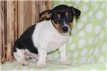 Picture of Norman / Jack Russell Terrier