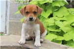 Picture of Watson / Jack Russell Terrier