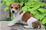 Picture of Will / Jack Russell Terrier