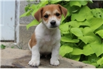 Picture of Weston / Jack Russell Terrier