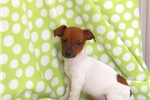 Picture of Moose / Jack Russell Terrier