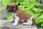 Picture of Wayne / Jack Russell Terrier