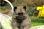 Picture of Crosby / Keeshond