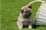 Picture of Betsy / Keeshond