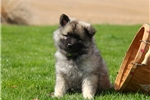 Picture of Bella / Keeshond