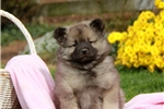 Picture of Carla / Keeshond