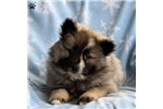 Picture of Truffle / Keeshond