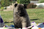 Picture of Miley / Keeshond