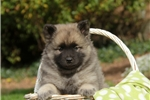Picture of Cooper / Keeshond