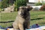 Picture of Marvin / Keeshond