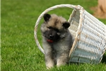 Picture of Bina / Keeshond