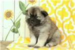 Picture of Kendall / Keeshond