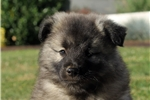 Picture of Monty / Keeshond