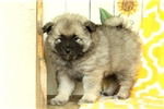 Picture of Keith / Keeshond