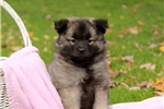 Picture of Constance / Keeshond